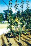 Agrandir l'image Jardin, verger conservatoire du château de Talcy