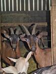 Agrandir l'image Elevage de chèvres et fabrication de fromages